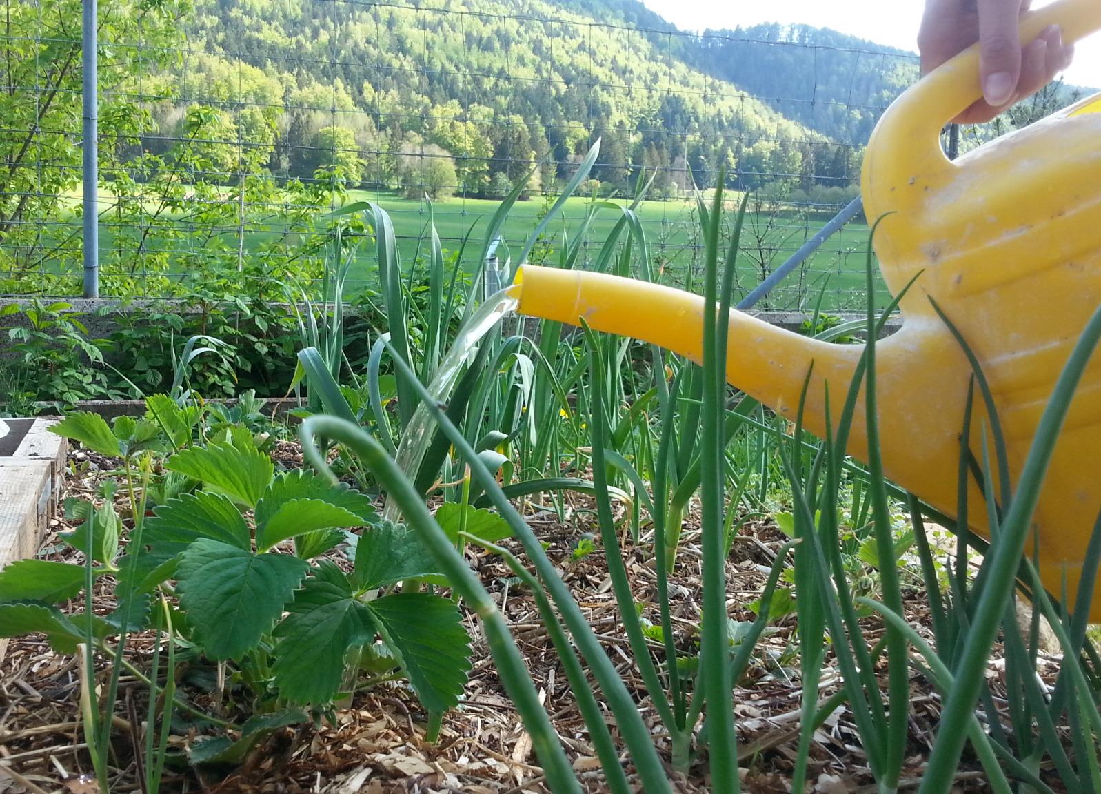 utiliser l'urine au jardin